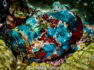The Blues. Devil Scorpionfish - Scorpaenopsis diabolus. B... by Stefan Follows