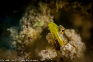 """""""Saying Hello"""" A Yellow Face Pyke Blenny showing its face. by Dusty Norman"""