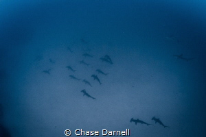 """""""The Armada"""" A big school of Hammerheads passes undernea... by Chase Darnell"""