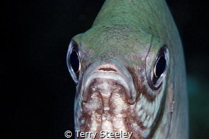 Damsel fish portrait by Terry Steeley