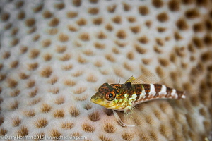 """""""My Good Side"""" A Saddle Blenny offers up a perfect pose ... by Dusty Norman"""