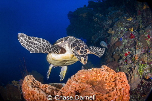 """""""Spread Em"""" A Hawksbill prepares for a major bite of his... by Chase Darnell"""