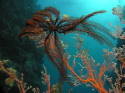 Crinoid  Extreme Wide-Angle Lens by Steve Andrews
