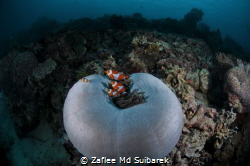 Anemone Fish by Zaflee Md Suibarek