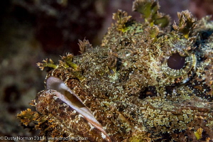"""""""Hairy Face"""" Close up portrait of a Scorpion Fish. by Dusty Norman"""