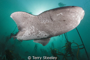'The view from below'. Broadnose sevengill shark, broad s... by Terry Steeley