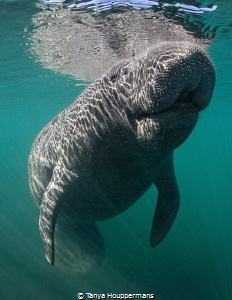 Looking At The Bright Side A manatee in Crystal River, F... by Tanya Houppermans