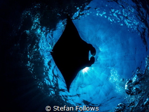 Muse. Manta Ray - Manta alfredi. Manta Point, Bali, Indon... by Stefan Follows