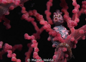 Kiss Me . A little Pigmy Seahorse on a Gorgonian Fan by Marcel Waldis