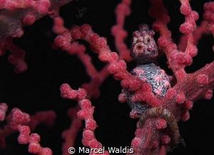Kiss Me . A little Pigmy Seahorse on a Gorgonian Fan by Marcel Waldis