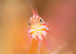 Peppermint / Stripehead Pygmy Goby - Trimma striata by James Deverich