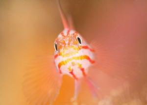 Peppermint / Stripehead Pygmy Goby - Trimma striata by James Deverich