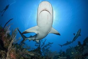 caribbean reef shark by Mathieu Foulquié