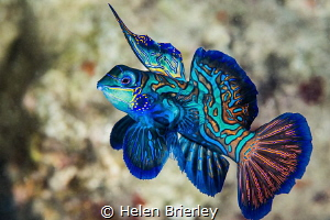 Male Mandarin Fish Display, Yap. by Helen Brierley
