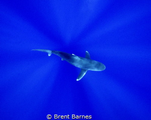 An oceanic white tip shark photographed from above passin... by Brent Barnes