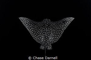 """""""Spread Your Wings"""" This Eagle Ray let me get so close t... by Chase Darnell"""