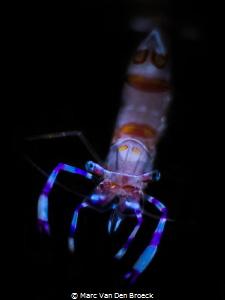 small little Shrimp by Marc Van Den Broeck