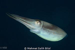 Same cuttlefish. by Mehmet Salih Bilal