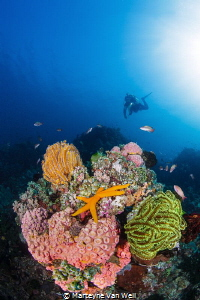 An orange sea star at Beatrice in Anilao, Philippines by Marteyne Van Well