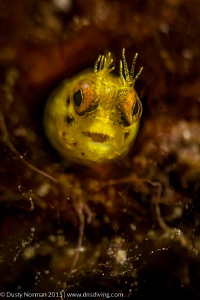 """Neon Blenny""