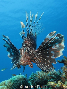 The majestic Lionfish (Pterois miles) by Andre Philip