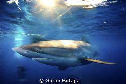 silky shark in slow shutter speed by Goran Butajla