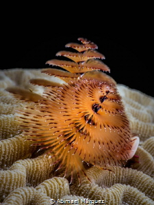 Christmas Tree Worm by Abimael Márquez