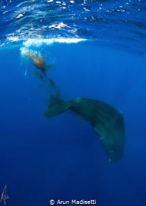 "sperm Whale ""decompressing"" (taken under government permit) by Arun Madisetti"