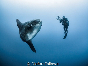 That moment when ... Southern Ocean Sunfish - Mola ramsay... by Stefan Follows