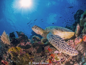 Sunbathing Green Sea Turtle in Sipadan by Sean Chinn