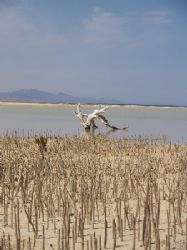 Mangrove shoots taken at Nabq park Sinai. by Anel Van Veelen
