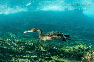 Cormoran Hunting, Punta Vicente Roca Galapagos by Alejandro Topete