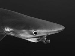 Hungry blue shark! by Pieter Firlefyn