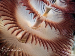 This Christmas Tree Worm was a rather ugly brownish color... by Patricia Sinclair