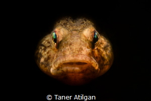 Snooted sand goby portrait by Taner Atilgan