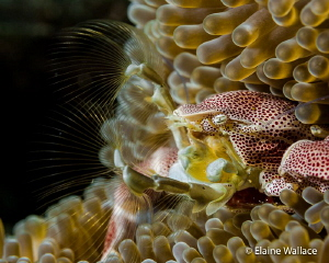 Porcelain crab filtering. by Elaine Wallace