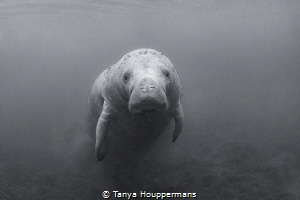 Monochrome Manatee A lone manatee in Crystal River, Florida by Tanya Houppermans