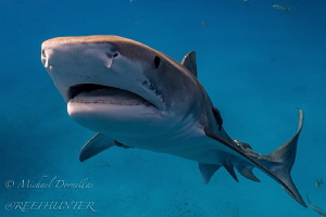 Tigershark shot on free dive with natural light by Michael Dornellas