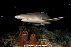 a night dive with lemon sharks Tiger Beach by Michael Weberberger