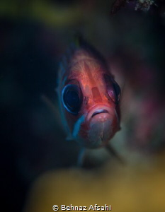 This cute squirrelfish was peeking through a hole in the ... by Behnaz Afsahi