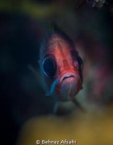 This cute squirrelfish was peeking through a hole in the ... by Behnaz Afsahi