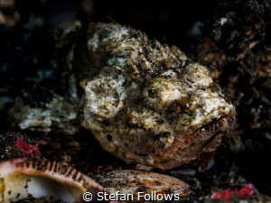 Desolation. Devil Scorpionfish - Scorpaenopsis diabolus. ... by Stefan Follows