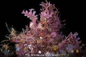 Weedy Scorpionfish / Rhinopias frondosa by Marteyne Van Well