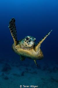 Turtle by Taner Atilgan