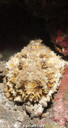 Stonefish at the Reunion island by Edouard Chéré