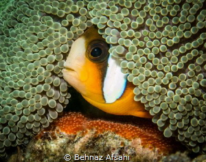 This little clownfish was very protective of his eggs lai... by Behnaz Afsahi