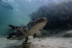 Alligator by Michael Dornellas