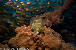 Leaf Scorpion Fish surrounded by a school of glass fish by Tracey Jones