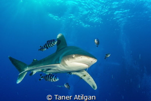 Oceanic Whitetip with a hook by Taner Atilgan