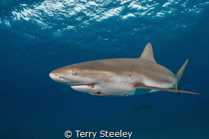 Caribbean reef shark cruises the ocean's surface. by Terry Steeley